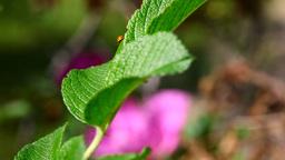 Ladybug Stock Video Footage