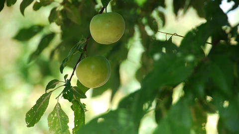 Fresh green plum fruit hanging on tree - Agriculture - Farm Footage