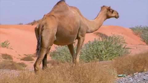 camel walk on street Stock Video Footage