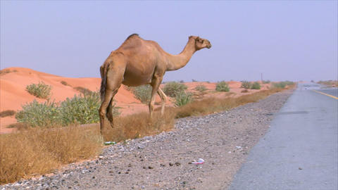 camel walk on street Footage