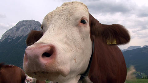 austrian cow super close 2 cam Stock Video Footage