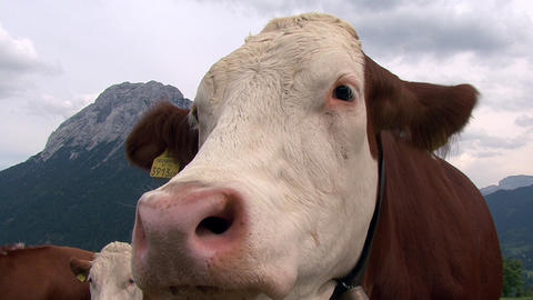 austrian cow super close 2 cam Footage
