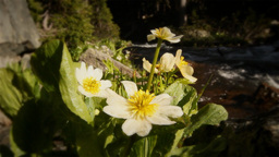 (1215s) Colorado Rocky Mountains Alpine Meadow... Stock Video Footage