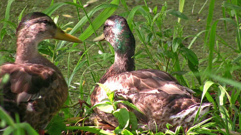 Ducks in grass Footage