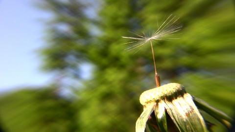 dandelion alone Stock Video Footage