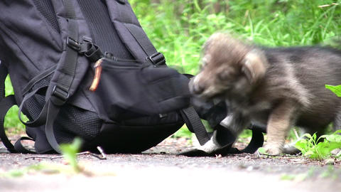 puppy and knapsack Stock Video Footage