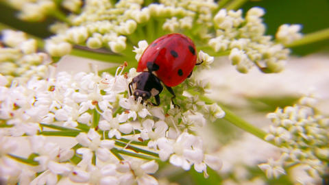 lady bug Stock Video Footage