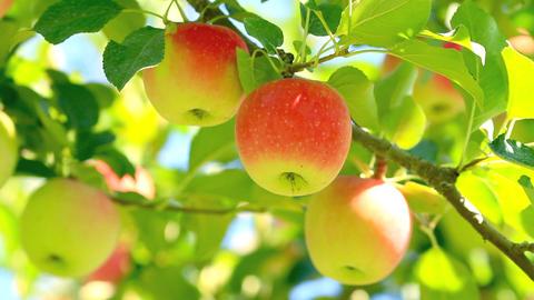 Harvest Apples stock footage