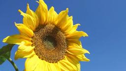Bright yellow sunflower Footage