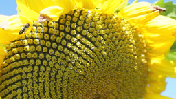 Close up of yellow sunflower Footage