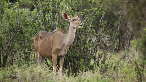 Kudu antelope ruminating Stock Video Footage