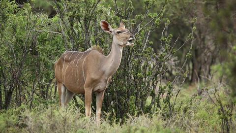Kudu antelope ruminating Footage