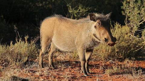 Relaxed Warthog stock footage