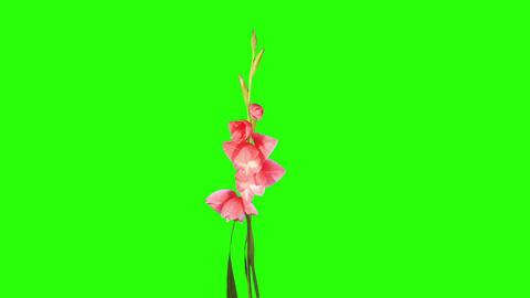 Blooming pink gladiolus flower buds green screen, Stock Video Footage