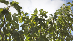 Fig tree sky clouds light wind Stock Video Footage