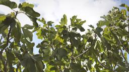 Fig tree sky clouds light wind Footage