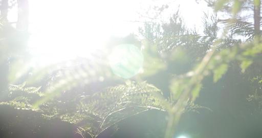 4K, Sunbeams through fern, wee and trees Footage