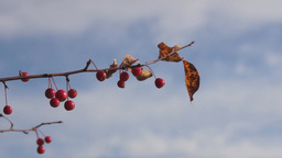Branch with small red apples against a blue sk Stock Video Footage