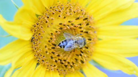 Honey bee on a sunflower Stock Video Footage