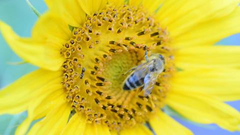 Honey bee on a sunflower Footage