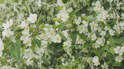 Blossoming apple tree in springtime Footage