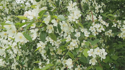 Blossoming apple tree in springtime Stock Video Footage