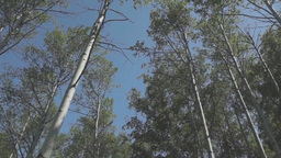 Flight along tops of trees in the summer fores Footage