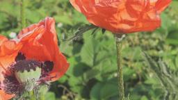 Big oriental poppy flowers Footage