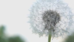 Macro of white fluffy dandelion flower Stock Video Footage