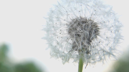 Macro of white fluffy dandelion flower Footage