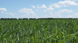 Big Green Field Of Young Wheat stock footage