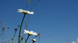 Daisies on a bright sunny day against blue sky Footage