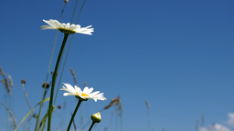 Daisies on a bright sunny day against blue sky Stock Video Footage