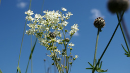 Blooming meadowsweet on a summer meadow Footage