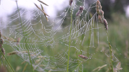 Early morning Spider web with dew drops Footage