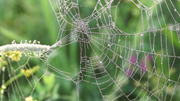 Spider web with dew drops early in the morning Stock Video Footage