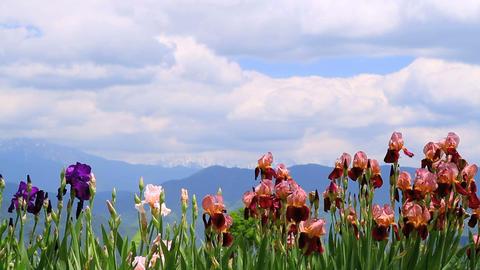 Iris Flowers stock footage