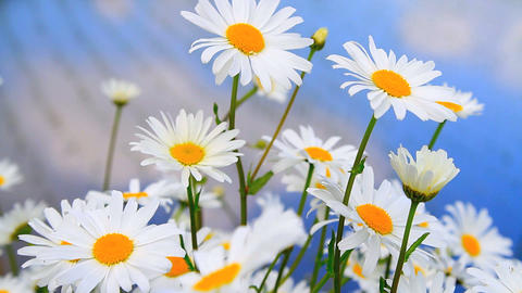 Daisy Flowers stock footage