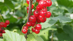 Bunch of red currants on the branch Stock Video Footage