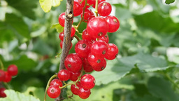 Bunch of red currants on the branch Footage