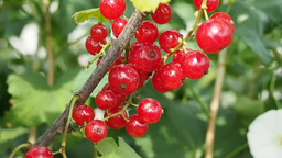Bunches of red currants on the branch Footage