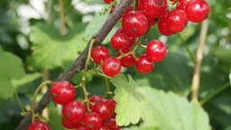Bunches of red currants on the branch Stock Video Footage