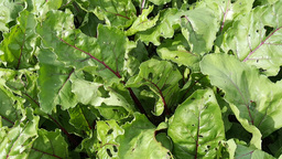 Beet leaves in the garden Stock Video Footage