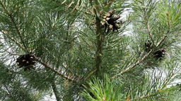 Young pine branches with cones Footage