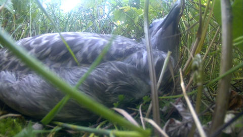 nestling of a bird seagull on full-screen and larg Footage