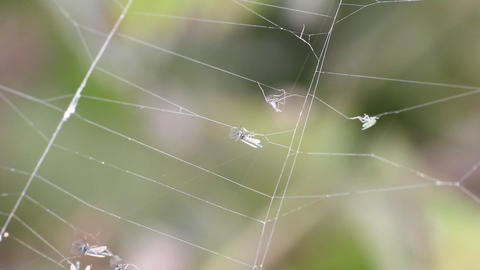 mosquitoes stuck and are entangled in a web Stock Video Footage
