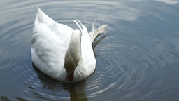 White swan on the lake Stock Video Footage