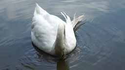 White Swan On The Lake stock footage