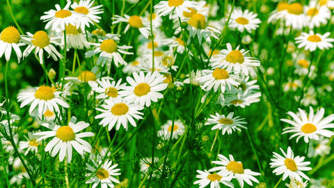 White and Yellow Daisies, Blooming in Field Stock Video Footage