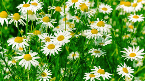 White and Yellow Daisies, Blooming in Field Footage